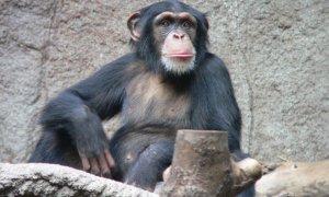 Știrile zilei - 18 noiembrie - Un cimpanzeu încearcă experiența VR