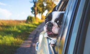 Uber Pet, serviciul care te lasă să împarți mașina cu Azorel