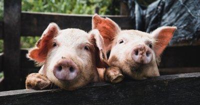 Lucruri pe care trebuie să le știi dacă îți deschizi o mini fermă de îngrășat porci